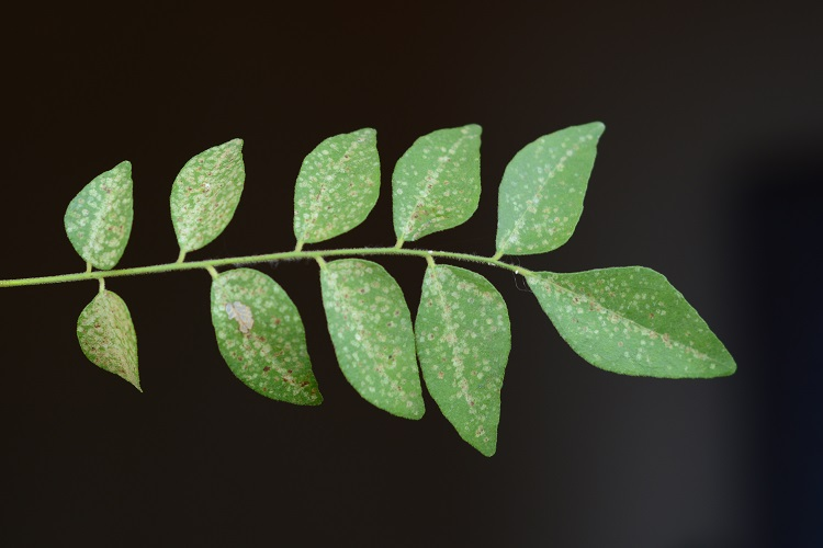curry leaves on how to get rid of gray hair