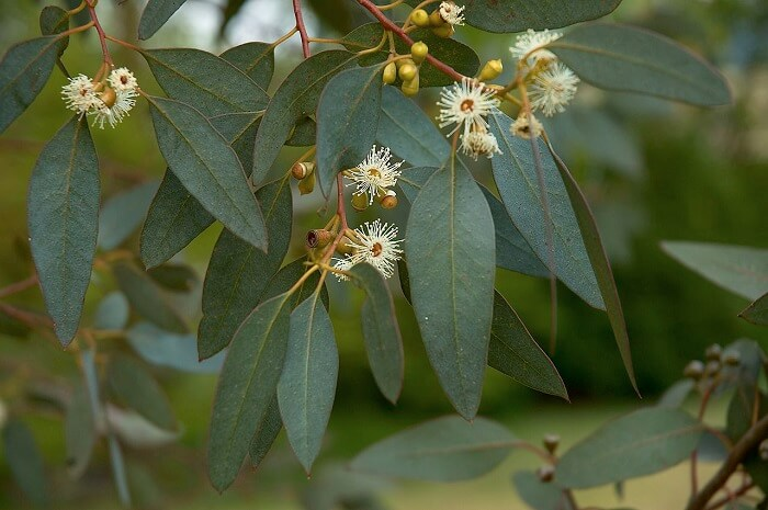 eucalyptus oil calms irritations and reduces redness