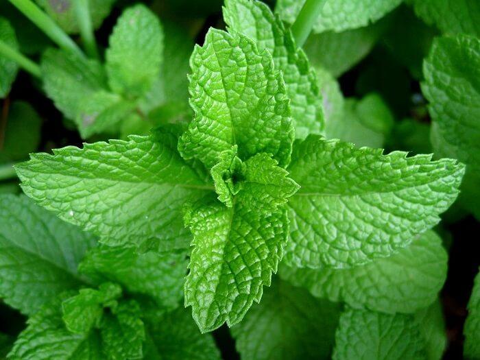 peppermint leaves skin rash treatment