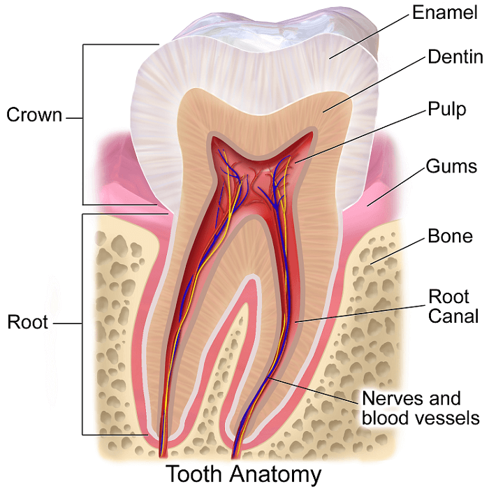 tooth enamel restoration and tooth anatomy