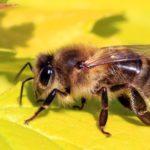 a honey bee standing on a flower