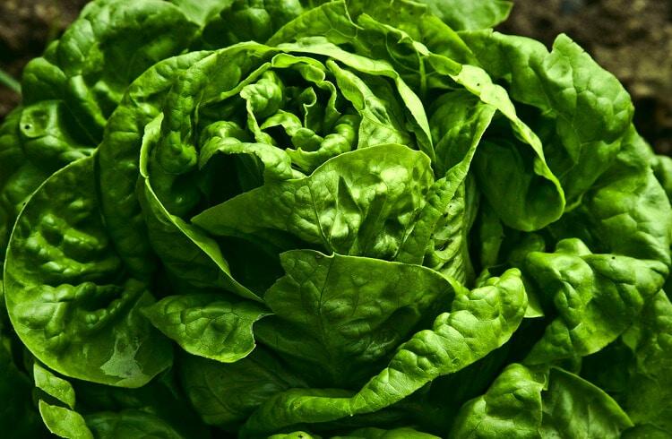 a big green lettuce