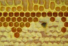 Bee in honey comb making wax